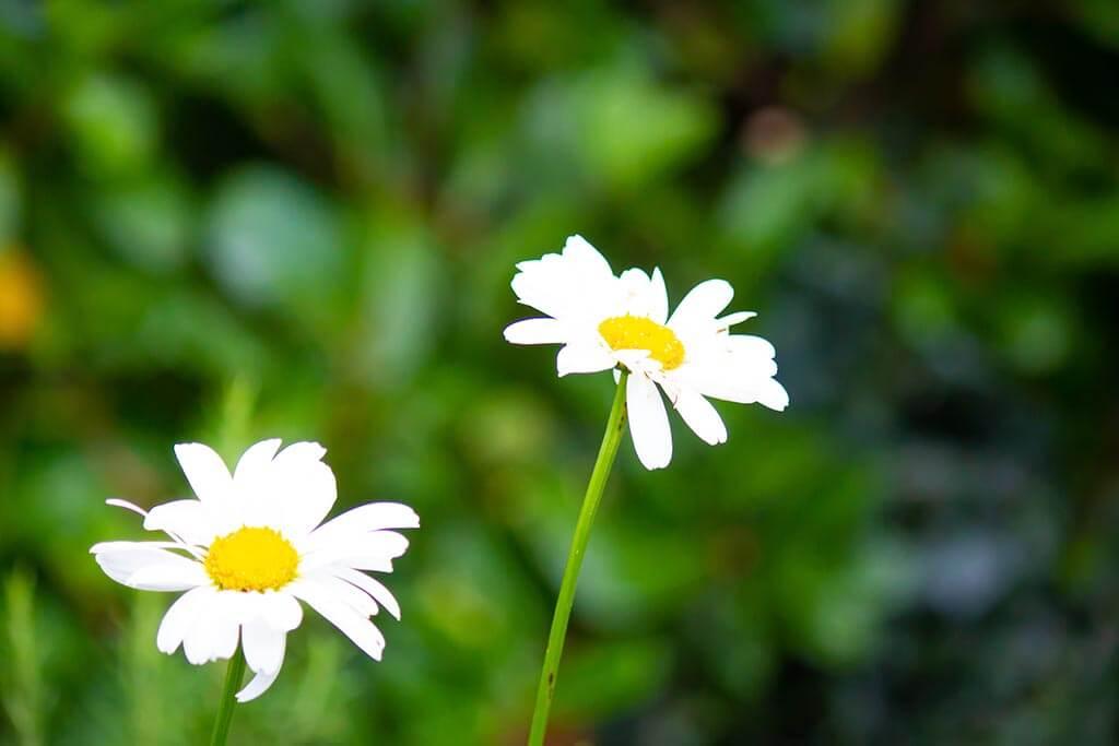SenSI Garden Daisy