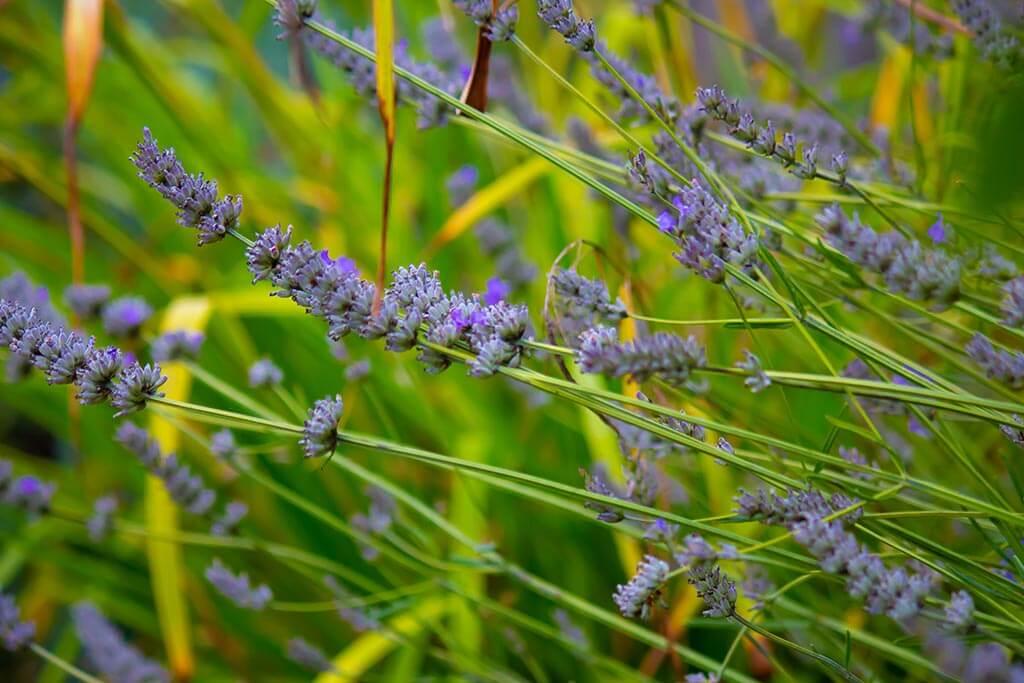 SenSI Garden Lavender