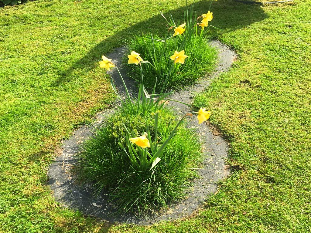 senSI Garden Daffodils